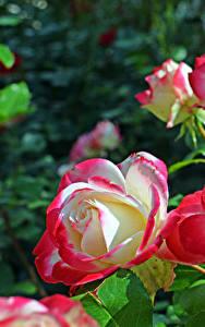 Hintergrundbilder Rose Nahaufnahme Blumen