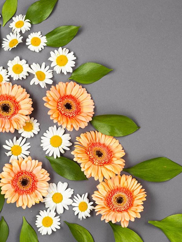 Bilder von Gerbera Blumen Kamillen Grauer Hintergrund 600x800