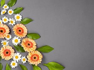Fotos Gerbera Kamillen Grauer Hintergrund Blumen