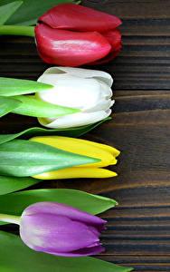Fotos Tulpen Großansicht Bretter Bunte Blumen