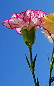 Bilder Nelken Großansicht Farbigen hintergrund Blumen