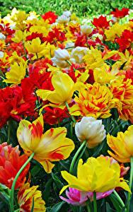 Bilder Tulpen Viel Großansicht Blüte