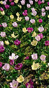 Hintergrundbilder Tulpen Viel Bunte Blumen