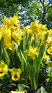 Bilder Narzissen Muttergottesschuh Gelb Blüte