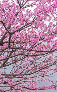 Desktop hintergrundbilder Blühende Bäume Ast Japanische Kirschblüte Rosa Farbe Blumen