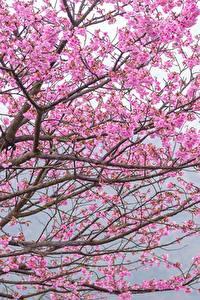 Bilder Blühende Bäume Ast Japanische Kirschblüte Rosa Farbe Blumen