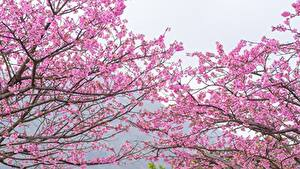 Pictures Flowering trees Branches Cherry blossom Pink color Flowers