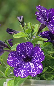 Fotos Petunien Großansicht Violett Blumen