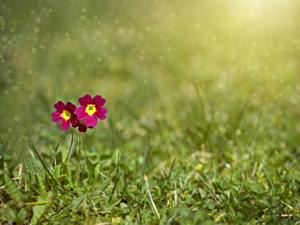 Bilder Schlüsselblumen Gras Bokeh Blumen