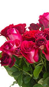 Bilder Sträuße Rosen Hautnah Weißer hintergrund Blüte
