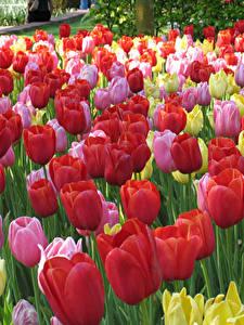 Bilder Niederlande Park Viel Tulpen Keukenhof Blumen
