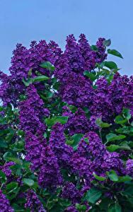 Bilder Flieder Ast Violett Blumen