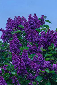 Pictures Lilac Branches Violet Flowers