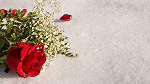Hintergrundbilder Rosen Rot