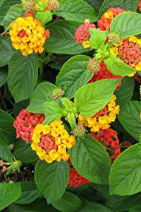 Hintergrundbilder Verbenen Großansicht Blattwerk Blumen