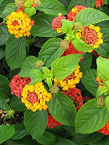 Image Verbena Closeup Leaf Flowers