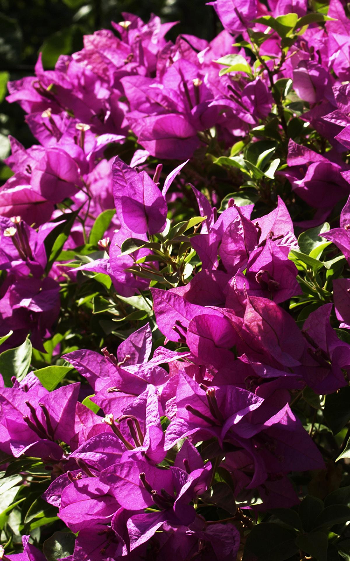 Fotos Violett Blumen Drillingsblume Großansicht 1200x1920 Bougainvillea