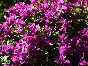 Hintergrundbilder Drillingsblume Großansicht Violett Blumen