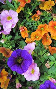 Bilder Petunien Viel Großansicht Blumen