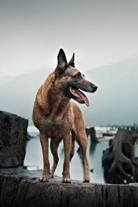 Bilder Hunde Shepherd