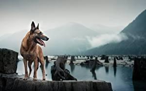 Bilder Hunde Shepherd Tiere