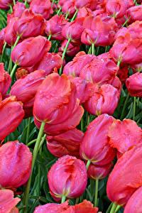 Fotos Tulpen Viel Großansicht Rosa Farbe Blumen