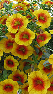Hintergrundbilder Calibrachoa Nahaufnahme Gelb Blumen