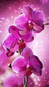 Hintergrundbilder Orchidee Großansicht Rosa Farbe Blüte