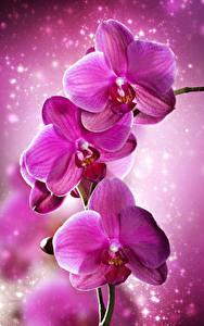 Hintergrundbilder Orchideen Großansicht Rosa Farbe Blumen