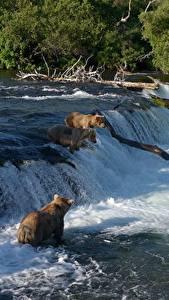 Hintergrundbilder Ein Bär Braunbär Flusse Wasserfall Fischerei Tiere