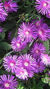 Hintergrundbilder Mesembryanthemum Großansicht Rosa Farbe Blüte