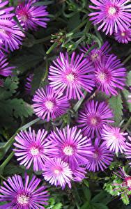 Hintergrundbilder Mesembryanthemum Großansicht Rosa Farbe Blumen
