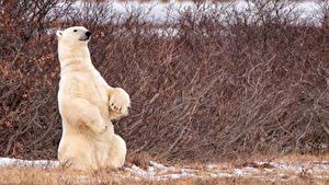 Hintergrundbilder Bären Eisbär Sitzend Tiere