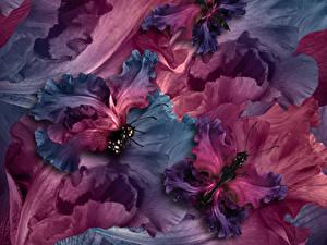 Hintergrundbilder Schwertlilien Schmetterlinge Großansicht Blumen