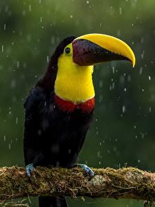 Bilder Vogel Regen Tukane Schnabel Ast Laubmoose ein Tier