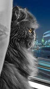 Papel de Parede Desktop Gato Persa gato Cinza Peludo Janela Noite Animalia