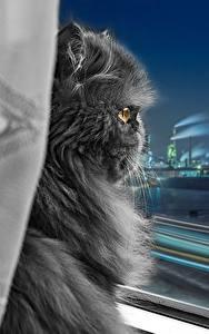 デスクトップの壁紙、、飼い猫、ペルシャ (ネコ)、灰色、ふわふわ、窓、夜、動物