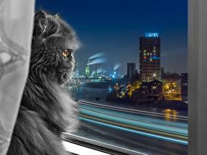 Fotos Katze Perserkatze Graues Flauschige Fenster Nacht Tiere