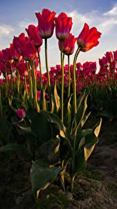 Bilder Tulpen Viel Rot Blumen