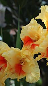 Fotos Gladiolen Nahaufnahme Blüte