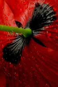 Bilder Mohn Makrofotografie Hautnah Rot Tropfen Blumen