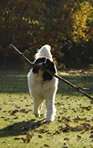 Wallpapers Dogs Grass Foliage Branches landseer Animals