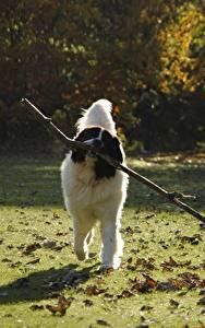 Bilder Hunde Gras Blattwerk Ast landseer Tiere