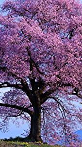 Bilder Blühende Bäume Hautnah Violett Natur
