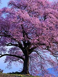 Bilder Blühende Bäume Hautnah Violett