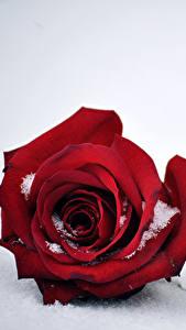 Fotos Rose Hautnah Rot Schnee Blüte