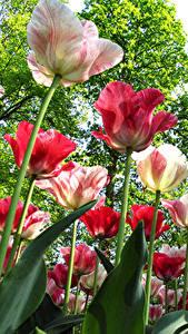 Hintergrundbilder Garten Tulpen Großansicht Untersicht Ansicht von unten Blüte
