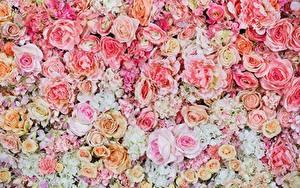 Fotos Rosen Textur Gezeichnet Rosa Farbe Blumen