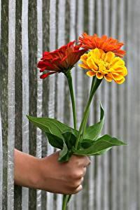 Fotos Sträuße Ringelblumen Zaun Hand Blüte