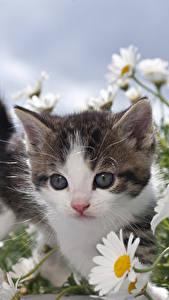 Bilder Hauskatze Kamillen Katzenjunges ein Tier